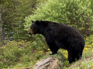 Baribal, Niedźwiedź Czarny - Niedźwiedź Czarny W Otoczeniu Lasu. Duży niedźwiedź brunatny idący przez zielone pole.