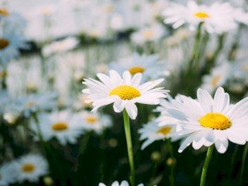 Gänseblümchen, Blumen - Bett der weißen Gänseblümchenblumen. Eine Nahaufnahme einer Blume.