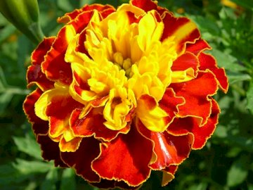 Stierblume - Stierblume ............... Geschlossene Blume.