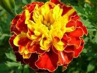 Flor de toro