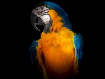 Tropicana - Ara jaune et bleu. Californie. Un oiseau coloré perché au sommet d'un perroquet.