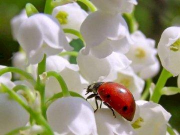 Maiglöckchen mit Marienkäfer. - Puzzle: Weiße Maiglöckchen mit Marienkäfer. Eine Nahaufnahme einer Blume.