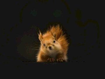 The Staring Squirrel - Écureuil brun sur fond noir. Afrique du Sud. Un écureuil dans une pièce sombre.