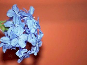 Niedawno wziąłem ten obraz, - Fotografia selektywna ostrości niebieskich płatków kwiatów. Zjednoczone Królestwo. Zamknięty k