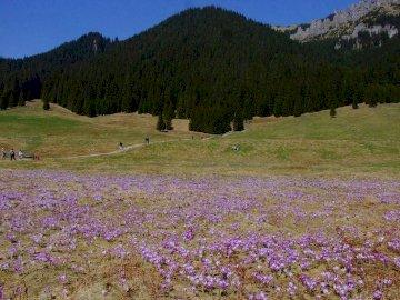 Polana Chochołowska - nakiem rozpoznawczym tej tatrzańskiej doliny są krokusy. Warto więc wybrać się tu na wycieczkę