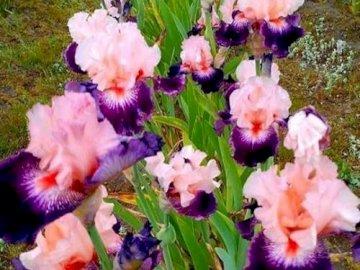 Purple Iris - Rząd purpurowej tęczówki. Zamknięty kwiat.