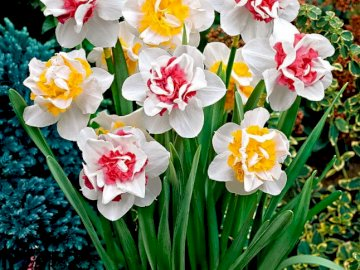 Narcisos de colores. - Rompecabezas: narcisos coloridos. A close up de una flor.