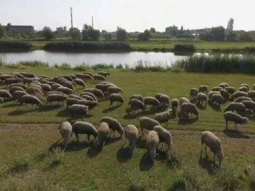 Schafe auf den Masern - Schafe am Odra-Deich in Opole. Eine Schafherde, die auf einem üppigen grünen Feld weidet.