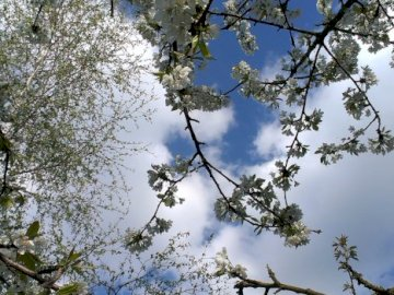 jablon kwitnaca - jablon kwitnaca na tle nieba. Drzewo w lesie.