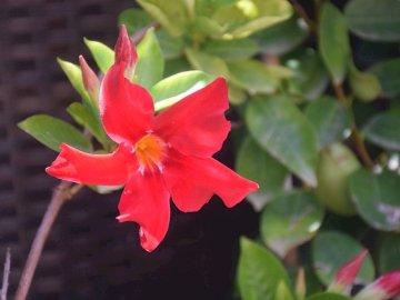 rot auf grün - rot auf grün. Eine rote Blume mit grünen Blättern.