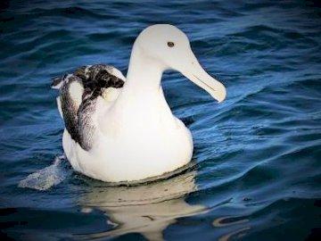 ALBATROS - albatros królewski na wodzie. Duży biały ptak stojący obok akwenu.