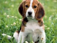 Dog-puppy - Pies beagle -puzzle