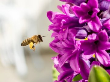 From a bee's life - The picture shows a bee flying to a flower to collect nectar. A close up of a purple flower.