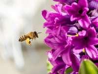 Uit het leven van een bij - Honingbij. De foto toont een bij die naar een bloem vliegt om nectar te verzamelen. A close up van e