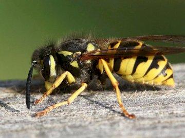 Prairie de mai - May meadow - guêpe. Organisez les puzzles. Un insecte au sol.