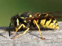 May meadow - May meadow - wasp. Arrange the puzzles. A insect on the ground.