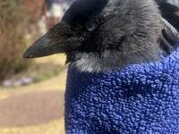 Crow from the chimney - . A close up of a bird.