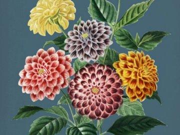 Dahlias colorés, fleurs de jardin - . Un gros plan d'une fleur.