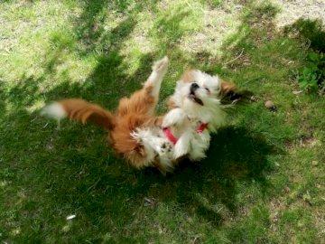 Foksikpies - . A dog lying on green grass.