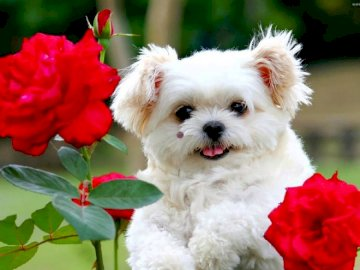 sweet dog with roses - . A close up of a dog with a red flower.