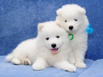 dos perros blancos - . Un gran perro blanco acostado sobre una superficie azul.