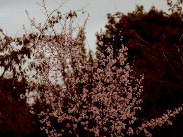 Cerisier à Thessalonique - . Un gros plan d'un arbre.