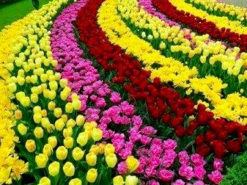Paisaje con tulipanes. - . Un colorido jardín de flores.