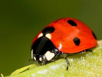 coccinelle - . Un insecte sur une fleur.