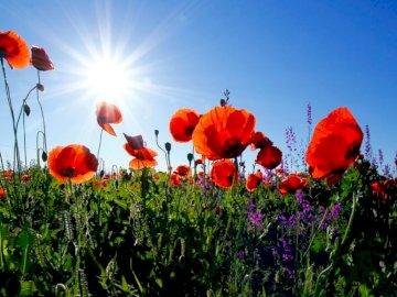 Red poppies under morning sun - . A colorful flower on a plant.