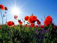 Червени макове под сутрешно слънце