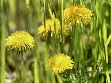 πικραλίδα - . Ένα κίτρινο λουλούδι στη χλόη.