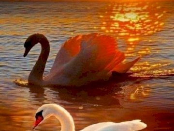 Paisaje con cisnes. - Rompecabezas: Paisaje con cisnes. Una bandada de gaviotas nada en un cuerpo de agua.