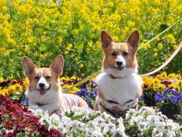 Cachorros en colza. - Puzzle. Animales. Cachorros en colza. Un perro sentado en un jardín.