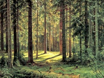 Coniferous forest in the morning - A wonderful coniferous forest, nature and wildlife