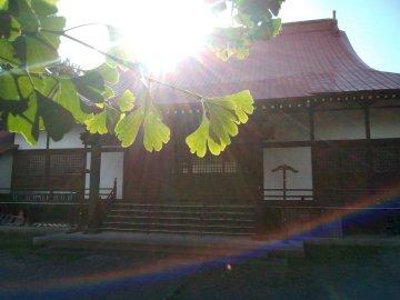 Gingko in Japan - Ginkgo biloba in Asahikawa, Hokkaido.