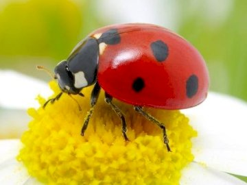 LADYBUG - Complete the 2-piece ladybug puzzle. A small insect on a flower.