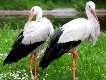 Störche auf der Wiese - Bewohner der Frühlingswiese. Ein Vogel, der im Gras steht.