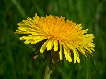 dandelion - a plant - plants in the spring meadow. A close up of a yellow flower.