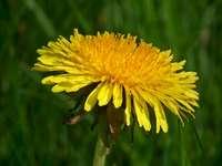 dente de leão - uma planta - plantas no prado primavera. Um fim acima de uma flor amarela.
