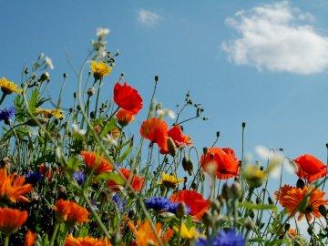 prairie de printemps - La photo montre une prairie de printemps avec des coquelicots, des bleuets et un glaucome. Un groupe