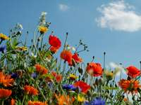 spring meadow - The photo shows a spring meadow with poppies, cornflowers and glaucoma. A group of colorful flowers.