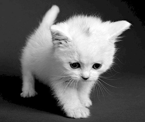 Weiße Katze - Schöne weiße Katze, sie mag alle Kinder sehr :) Sie spielt gerne mit ihren Spielsachen!. Eine Katz