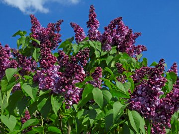 Spring lilac - May and fragrant lilacs straight from the Warsaw park. A pink flower on a plant.
