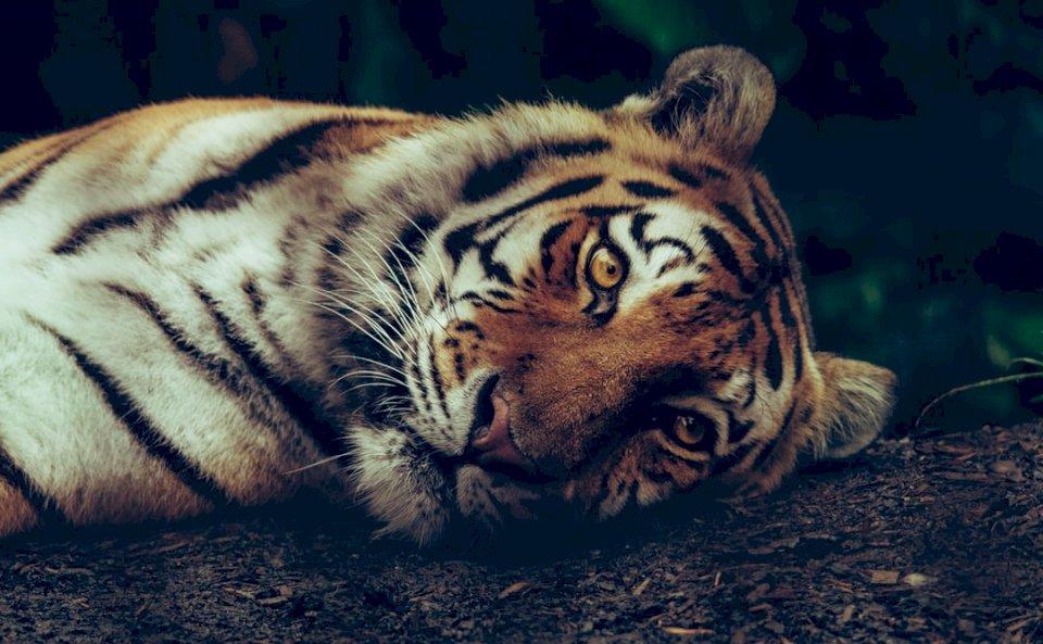Luna, der Sibirische Tiger Online-Puzzle
