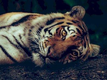 Luna, le tigre de Sibérie - Mise au point sélective du tigre couché sur le sol. Suède. Un gros plan d'un chat allong�