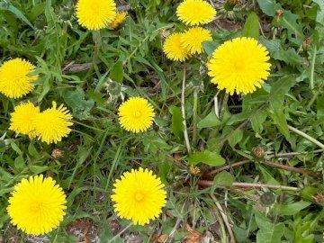 żółte mlecze czyli mniszki - żółte mlecze czyli mniszki. Żółty kwiat