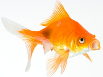 Gold fish - Complete this puzzle correctly. An orange fish with its mouth open.