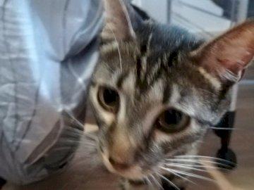 FlintThePirate - Ce puzzle est une photo de mon chat qui se cache sous le linge. Un chat qui regarde la caméra.