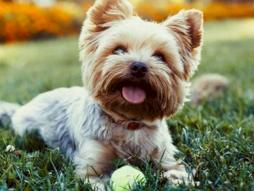 Little dog - If you love animals do not miss putting together this beautiful puzzle of this tender, loving, affec