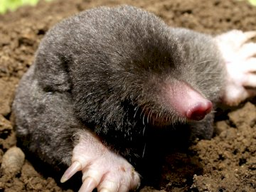 mole, meadow, May - mole, meadow, may, animals. A close up of an animal.